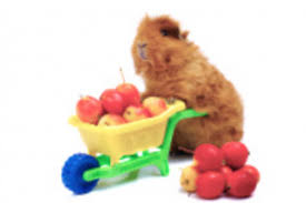 can guinea pigs eat apples things to consider guinea pig hub