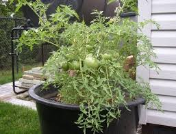 growing heirloom tomatoes in pots 5 best heirloom tomato plants