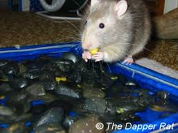 Best Bedding For Rats Rat Toy Ideas