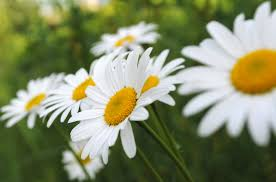 holy name wild daisies by mjvj56 on deviantart