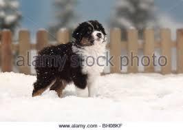 australian shepherd black australian shepherd black tri with puppy red tri 9 weeks toy