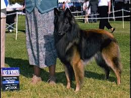 belgian sheepdog laekenois belgian sheepdog dog breed belgian shepherd dog groenendael