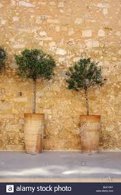 two olive trees in large terracotta pots stock photo royalty free