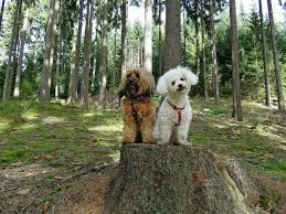bichon frise and cats 7 dog breeds that get along with cats pet sitting and pet care