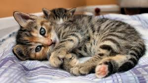 Kitten Bed Download Wallpaper 1920x1080 Cat Kitten Lying Bed Eyes Look