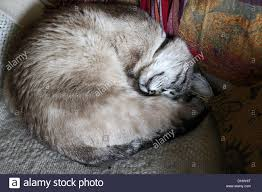Sleeping In A Chair Curled Up Cat Sleeping In A Chair Stock Photo Royalty Free Image
