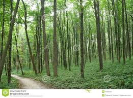 slender trees in forest green in summer stock photo image