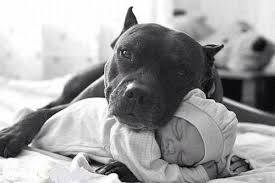 american stanford terrier y american pitbull terrier 37 pictures that will restore your faith in pit bulls