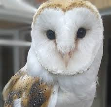Barn Owl Holidays January Star Species The Barn Owl