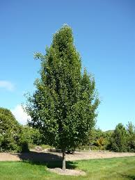 cleveland select pear tree this one needs a trim 25 35 h