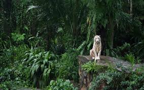 white tiger in the jungle wallpaper hd wallpapers