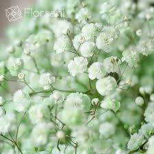 baby s breath flower light green tinted baby s breath