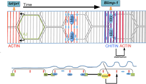 a feedback mechanism converts individual cell features into a
