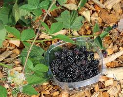 coffee for roses i love rubus doyle thornless blackberry
