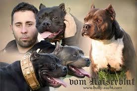 american pit bull terrier zucht hündinnen female