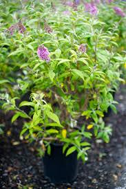 butterfly bush pink charm creekside tree nursery
