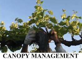 cakebread cellars canopy management youtube