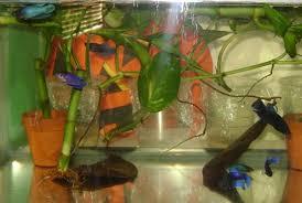 Betta Fish Vase With Bamboo My New Sorotiy Tank Betta Fish And Betta Fish Care
