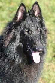 belgian shepherd quebec ebonide quebec at louandi