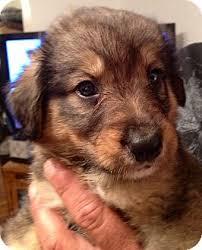 australian shepherd german shepherd mix for sale edgar adopted puppy waterbury ct australian shepherd