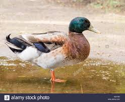 side view of a mallard duck in a puddle a full side view of a