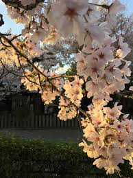 the better places cherry blossom in japan 3 things you will