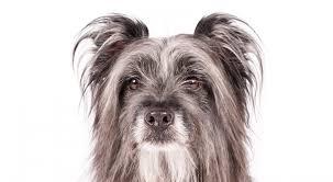 belgian shepherd kinds pyrenean shepherd dog breed information american kennel club