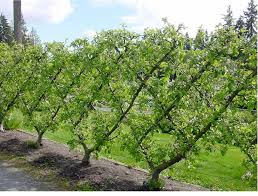 Planting Fruit Trees In Backyard 7 Best Fruit Tree Grove And Landscape Images On Pinterest Aqua