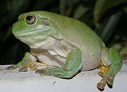 white s treefrog care sheet
