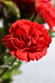 red carnation by abi ashra wedding flowers colours