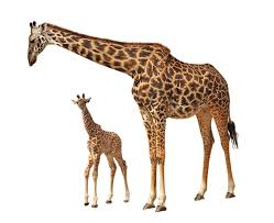 giraffe png images free download