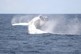 Whale by Whale Watching Mooloolaba Sunshine Coast Whale One