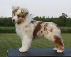 mini australian shepherd 8 weeks best 25 aussie dogs ideas on pinterest mini aussie mini aussie
