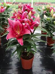 Asian Lilies Lilies From Growing Colors
