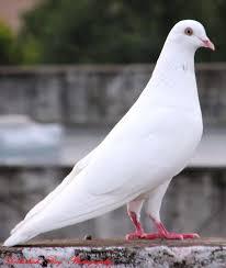 pin by debashish roy on my photography pinterest bird pigeon