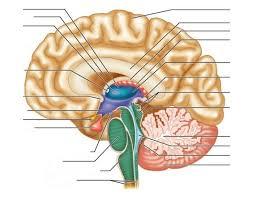 Webmd Human Anatomy Brain Human Anatomy Picture Function Parts Webmd