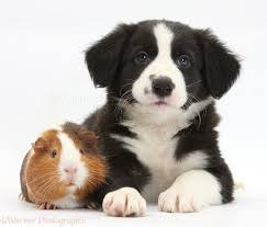Border Collie Meme - pets border collie pup and guinea pig photo wp31971