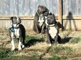 american pit bull terrier breed standard real american pit bull terriers all under 65 lbs read