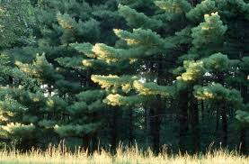 sunlight on eastern white pines michigan pictures michigan
