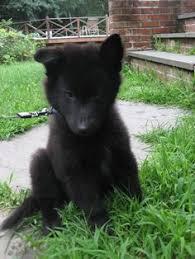 belgian tervuren club colorado belgian sheepdog puppy 5 months belgian sheepdogs pinterest