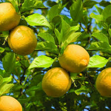 Decorative Trees For The Home by Fruit Trees U0026 Plants Edible Garden The Home Depot