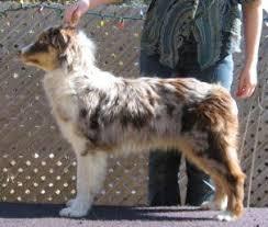 australian shepherd average weight stoverly aussies miniature australian shepherds