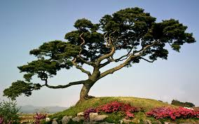 japanese pine tree on a mountain wallpapers and images