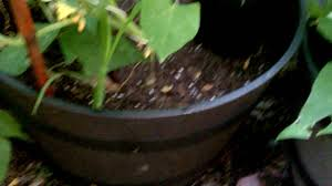 urban vegetable gardening growing cucumbers in containers youtube