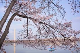 cherry blossom pics cherry blossom forecast peak bloom will come about a week early