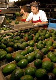 cost of australian shepherd cost of avocados in australia unlikely to rise amid global price