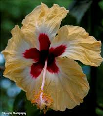 which state has a hibiscus hibiscus calyx ajaytao botanical photography