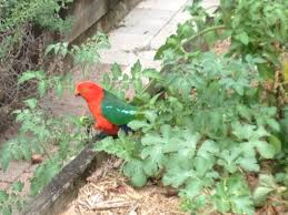 native plants sunshine coast king parrot eating my tomatoes sunshine coast queensland youtube