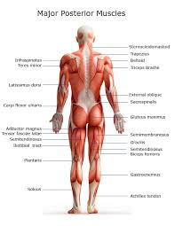 Tendons In The Shoulder Diagram Major Muscles On The Back Of The Body