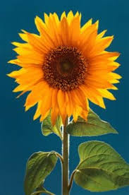 how to grow black oil sunflower black oil sunflowers and plants